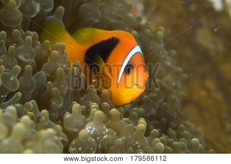 Close up Beautiful anemone fish in sea anemone
