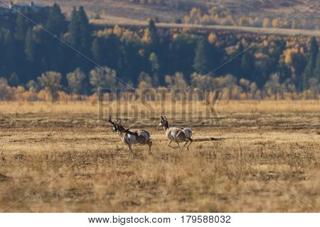 a buck pronghorn chasing does in the fall rut