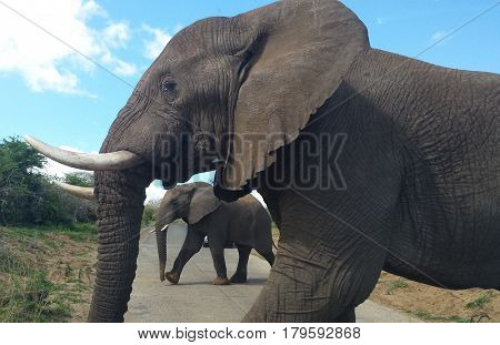 elephants in south africa crossing the road