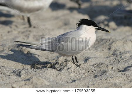 A Sandwich Tern, Thalasseus sandvicensis in breeding plumage on a beach in Florida