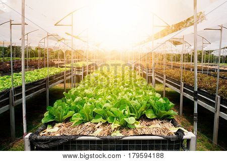 Organic Cos Lettuce in vegetable bed in morning.