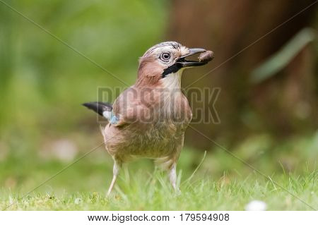 Jay (Garrulus glandarius) with acorn in beak. Bird in the crow family (Corvidae) standing on grass with seed found in soil