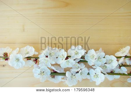 Seasonal blossoming springtime. Bloom closeup. Spring white blossom on wood texture background. April flower tree branch composition.