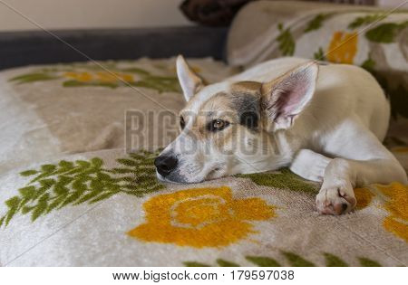 Cross-breed of hunting and northern dog lying on a sofa and watching