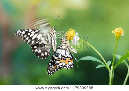 Couple butterfly feeding on Bidens pilosa flower in sunshine