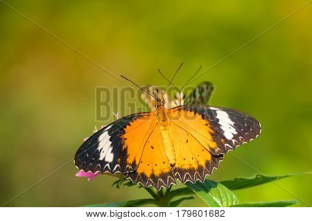 A butterfly feeding on Bidens pilosa flower in sunshine with flare
