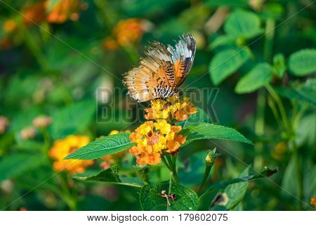 butterfly feeding on lantana flower in a summer garden