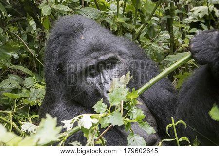 Silverback Mountain Gorilla, Bwindi Impenetrable Forest National Park, Uganda