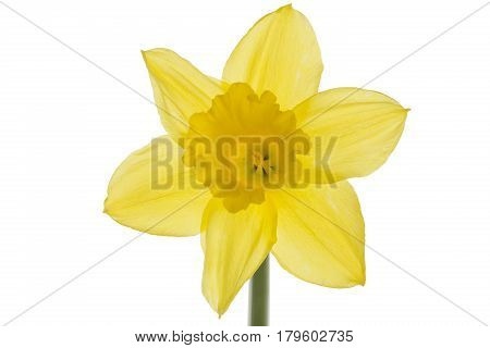 Single daffodil closeup isolated on white background