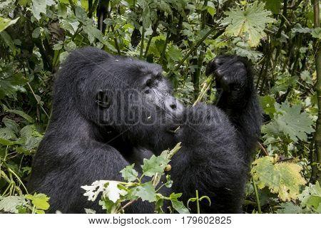 Profile Of Silverback Mountain Gorilla, Bwindi Impenetrable Forest National Park, Uganda