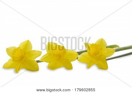 Three Daffodils isolated on white background with text space