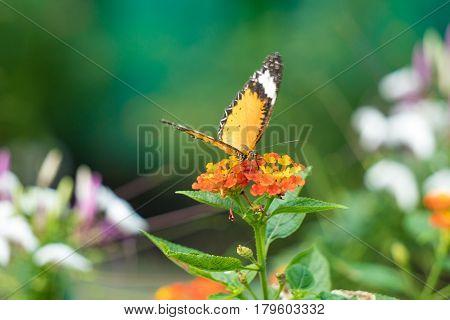 A butterfly feeding on lantana flower in a summer garden