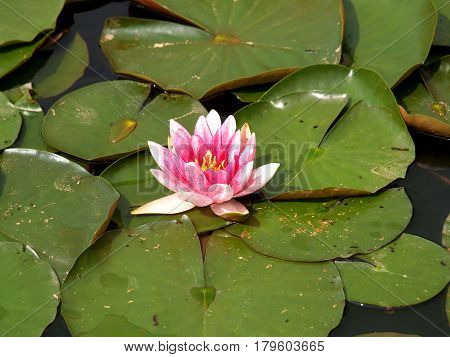 Water lily water nature plant biotope pink green