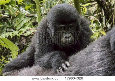 Baby Mountain Gorilla On Mother's Back, Bwindi Impenetrable Forest National Park, Uganda