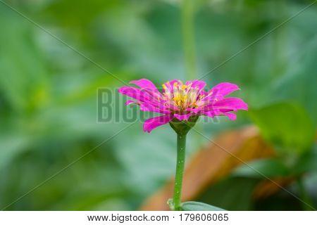 Zinnia elegans or Classic Zinnia flower in garden, sweet background
