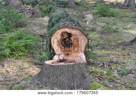 felled trees ready for transportation South Bohemia Czech Republic
