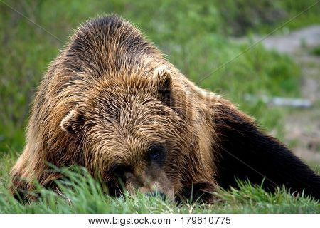 Brown Bear Laying On Grass