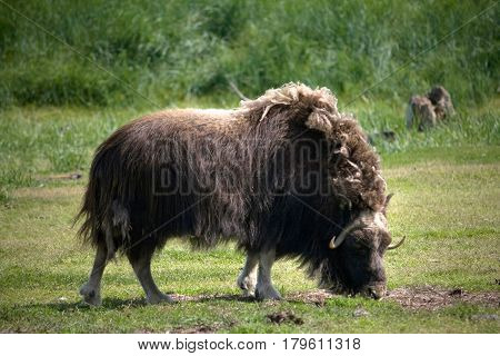 Grazing Musk Ox