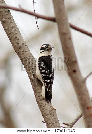 Downy woodpecker on a tree in the park