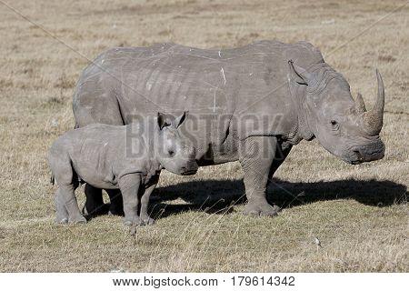 Female rhino with cub standing in the African savanna Kenya