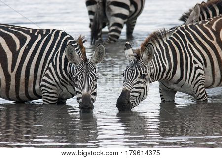 Two zebras drinking from the lake in beautiful poses Kenya