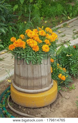 Flowers Blossomed, Planted In An Old Wooden Barrel