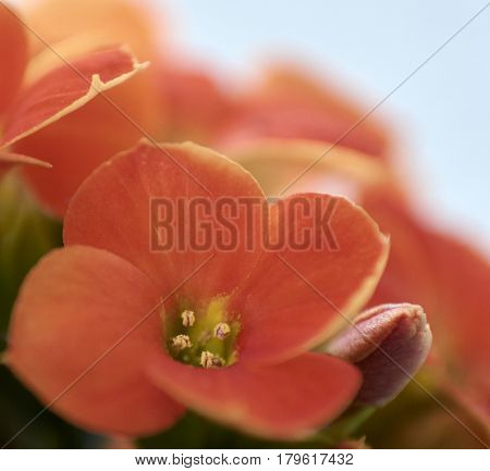 Studio Photography abstract art blurred macro thrust of small flowers of Kalanchoe with focus only on some particular