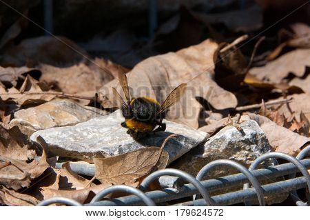 Dead Bumblebee standing on a rock with a background from the fallen leaves of oak