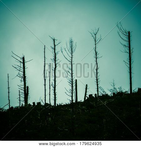 Detail Of Dead Trees In A Forest After The Devastation Of A Forest Fire