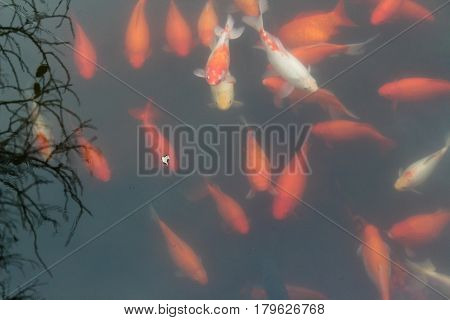 Red carp fish in black water background. Top view. Horizontal.