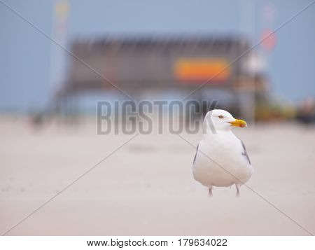 Larus Argentatus, Herring Gull On A Wind Blown Beach