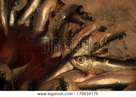 Fresh sardines or pilchards on crushed ice in a fish shop