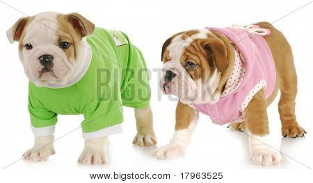 two puppies - english bulldog puppy girl and boy wearing sweaters on white background poster