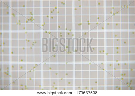 Fresh green plankton cells on scale counting chamber