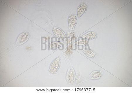 Vorticella is a genus of protozoan under microscop view.
