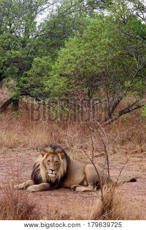 Regal Isolated Male Lion on Safari in African Savanna