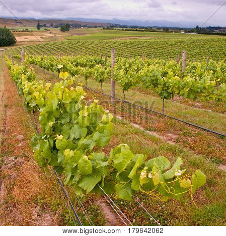 Organic Vineyard Leaves In Rows