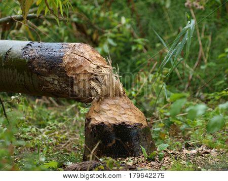 Cut Tree By Beaver (castor Fiber)