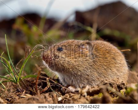 Common Vole (microtus Arvalis) On The Ground In A Field