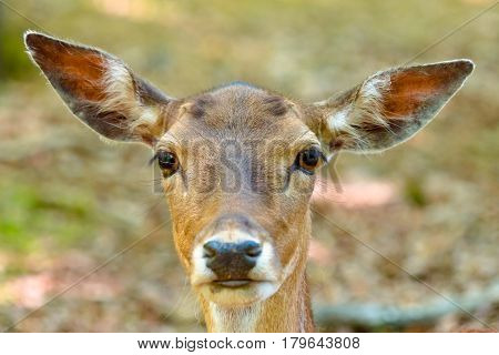 Head Of A Fallow Deer