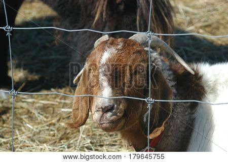 goat fence  horns  white brown  hay  face