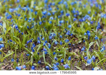 Wild alpine squill flowers (Scilla bifolia) in a meadow.
