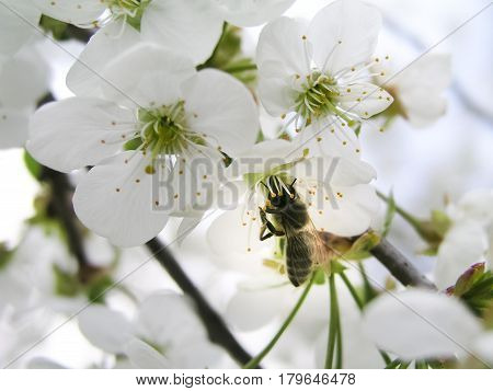 The bee collects pollen from white flowers cherry tree.  Flowers cherry tree blossomed.  Honey and medicinal plants Ukraine. Flowering fruit trees.