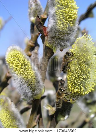 The honey bee collects the pollen from the willow. Not fluffy blooming inflorescences catkins holly willow in early spring before the leaves. Honey plants Ukraine. Collect pollen from flowers.