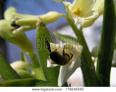 A bee collects nectar from white hyacinth that blooms in the meadow. Hyacinth blue purple flower blossomed. Bulbous plant to decorate flower beds. Honey plants Ukraine.