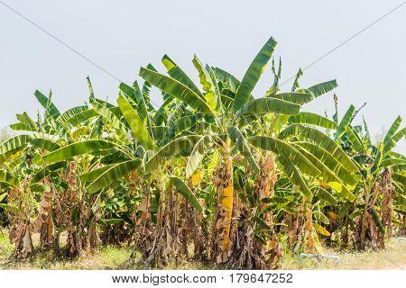 Tree banana garden lanscape in thailand .