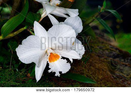 Dendrobium infundibulum Lindl in the natural habitat at Inthanon national park.