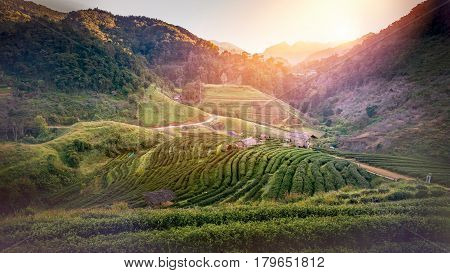 Background natural landscape view on the mountains. Evening sunsets tea plantation on the mountain. Thailand doi-angkhang