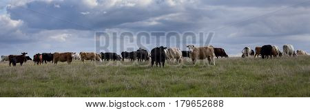 A herd of cattle on the ranch after the storm