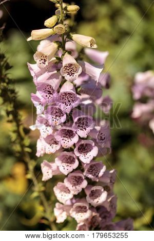 Foxglove Flower Digitalis Purpurea Blooms